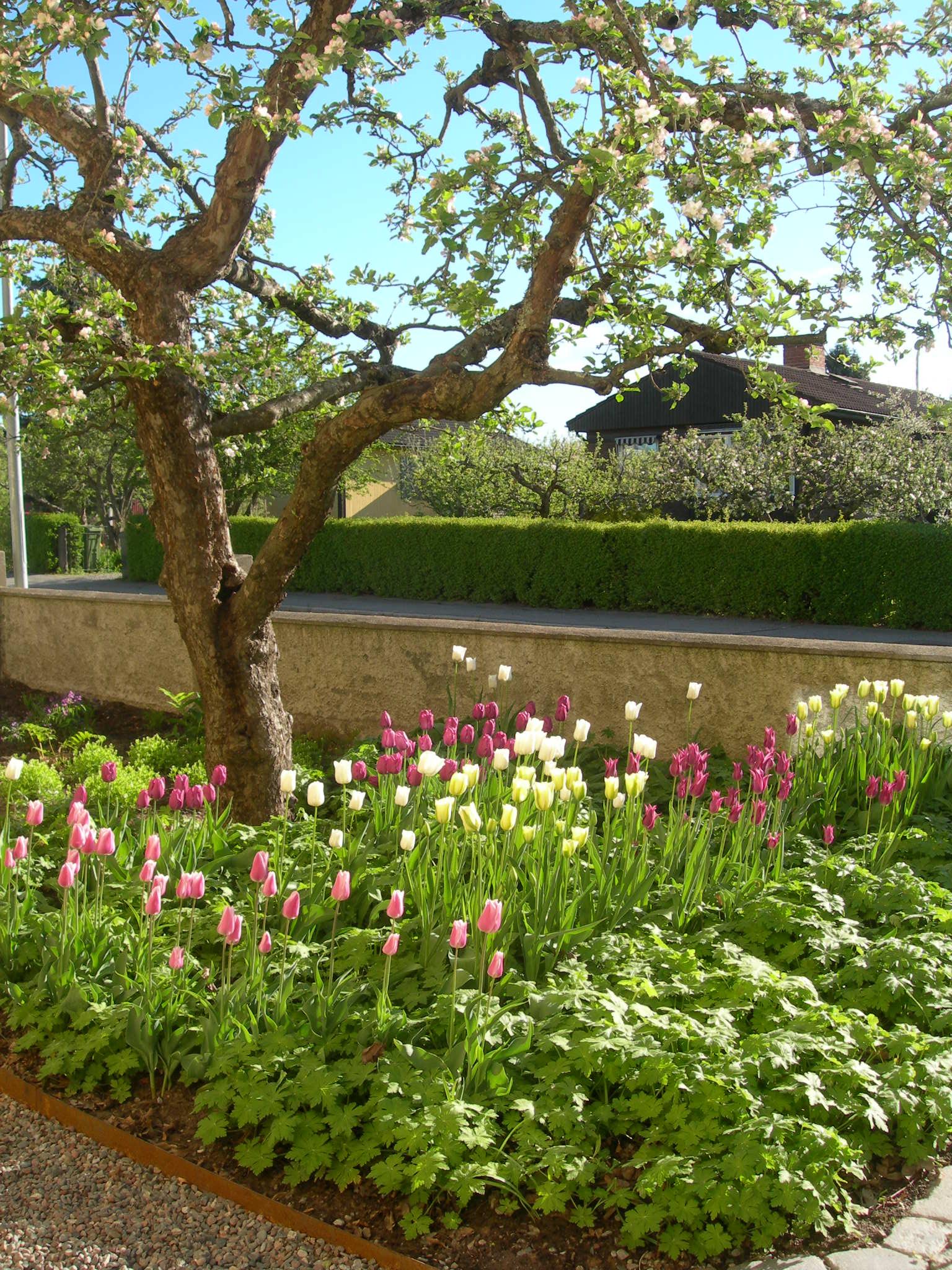 Tulpaner i trädgården